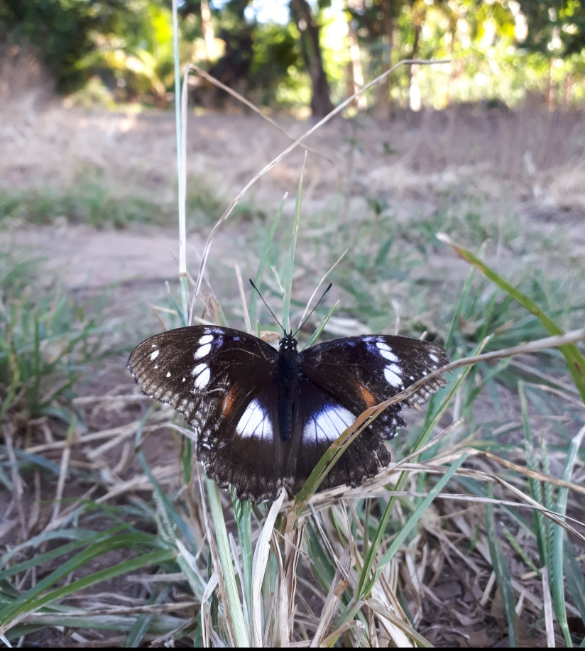 Molting butterfly